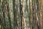 Phyllostachys glauca McClure