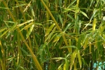 Phyllostachys rivalis