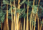 Phyllostachys viridis (R.A. Young) McClure f.youngii